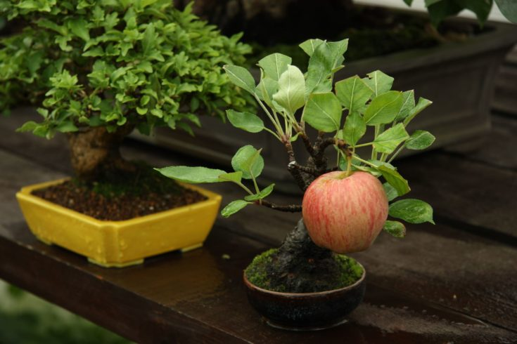 A small apple bonsai on a pot on the top of a wooden table with another bonsai on the right side.