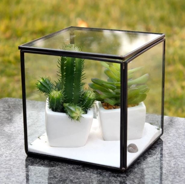 Two succulents planted on a white pot both enclosed inside a transparent glass cube