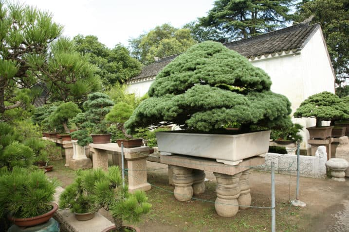 Collection of bonsai trees, Asia