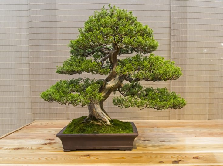 Bonsai - Chinese juniper (Juniperus chinensis). Age - about 60 years. Exhibition of Bonsai in Aptekarsky Ogorod (a branch of the Botanical Garden of Moscow State University), Moscow, Russia, November 2017.