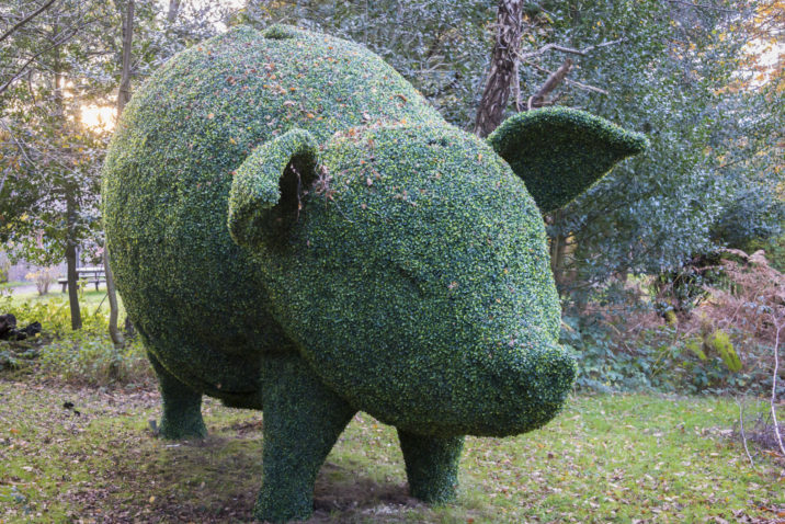 hedge shaped into a topiary pig