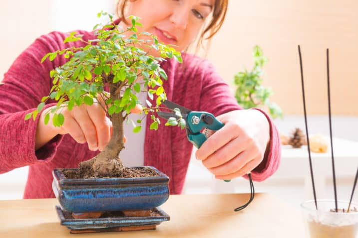 Beautiful woman trimming bonsai tree