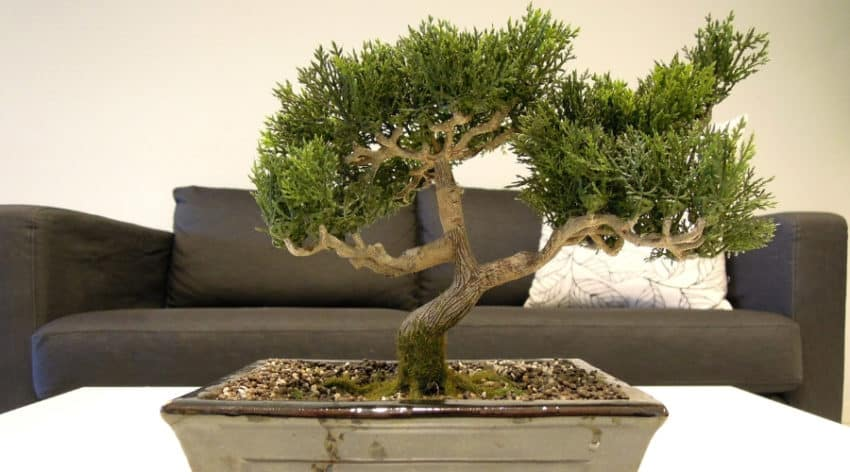 Featured Image-Everything You Need to Know About Japanese Bonsai Trees