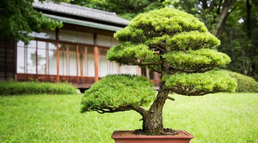 Featured Image - Everything You Need to Know About Juniper Bonsai Trees