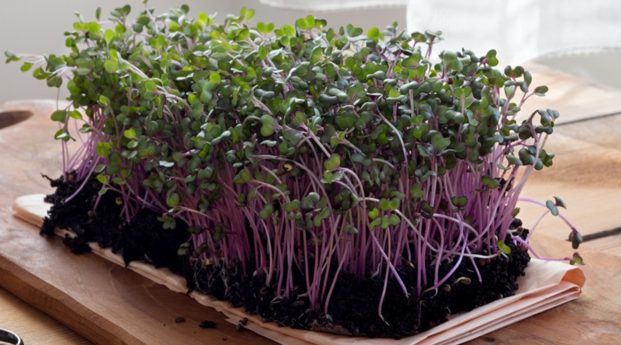 Featured Image - Health Benefits of MicroGreens: A Guide to Growing Smart Greens