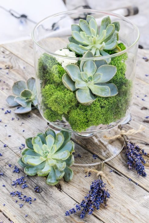 Succulents (echeveria) and moss in glass jar and lavender bunches around.