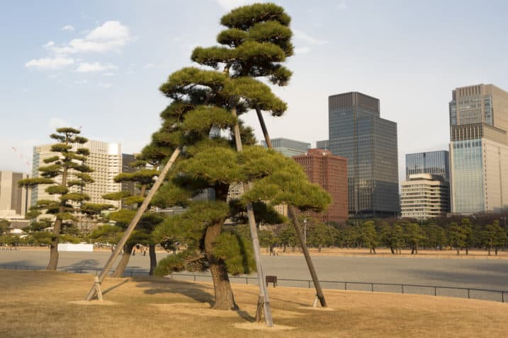 Trimmed trees, looking like giant bonsai, stand outside the Imperial Palace, Tokyo.