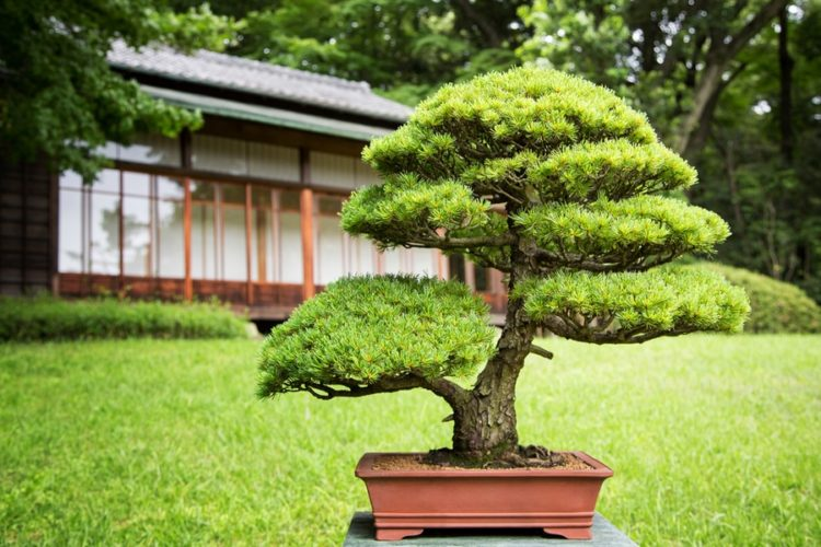 Bonsai tree in a Japanese Garden with traditional design building in background.