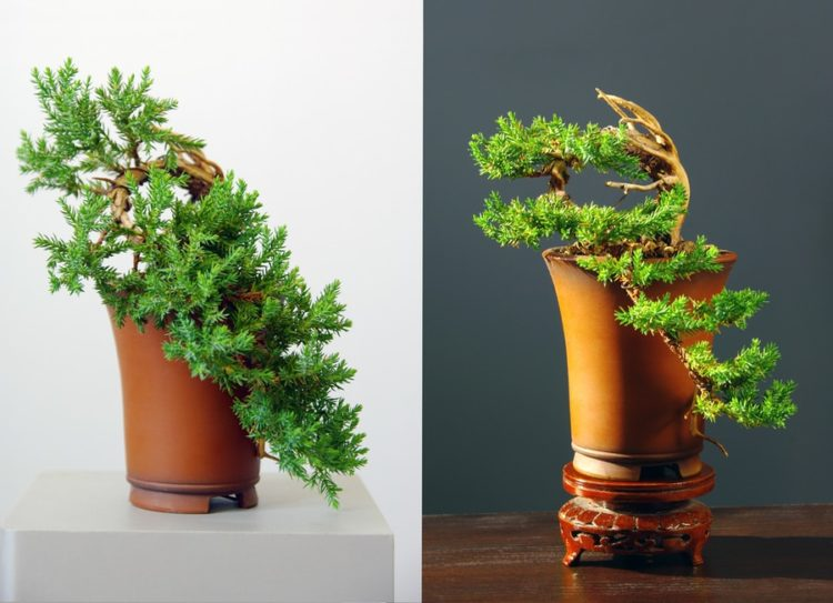 Two junifer bonsai in white and gray background.