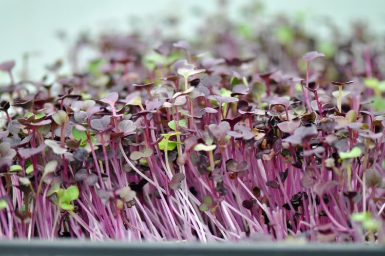 Micro greens grown in a North Carolina greenhouse near Chapel Hill