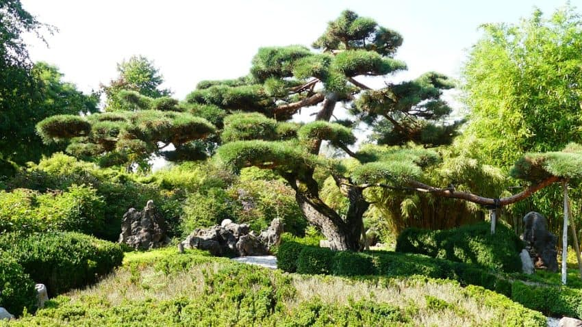 13 Stunning Giant Bonsai Trees With Pictures