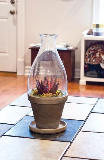 Potted Succulent maroon succulent enclosed in a glass florarium