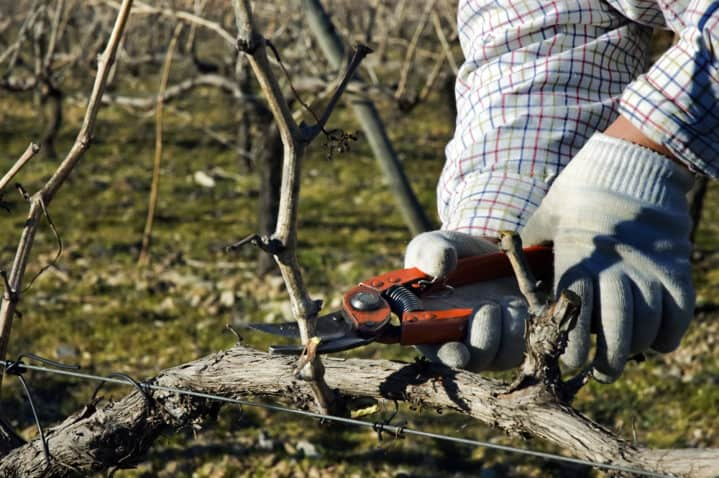 A closeup view of a worker pruning dormant grapevines in a vineyard.