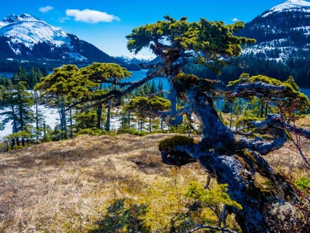 Windswept natural bonsai spruce in Prince William Sound, Alaska