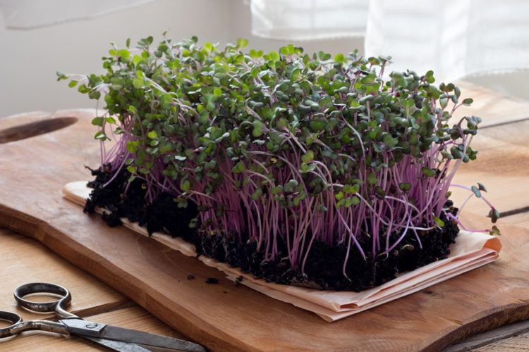 Red cabbage microgreens on a wooden table
