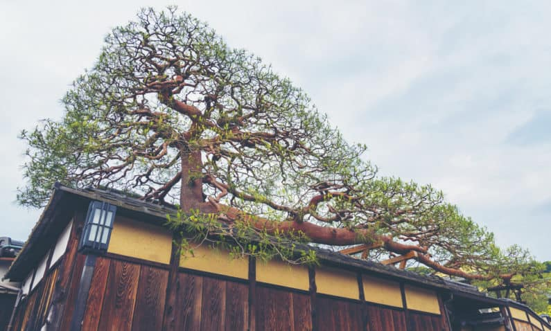 Large Bonsai tree growing its branch on on top of the roof of a house