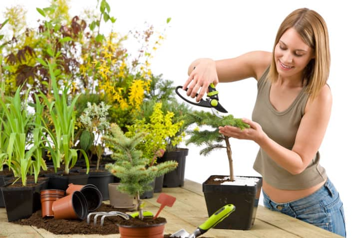 Gardening - woman trimming bonsai tree with prunning shears on white background