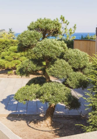 A large bonsai tree in a garden with several bonsai on the background and overlooking the sea