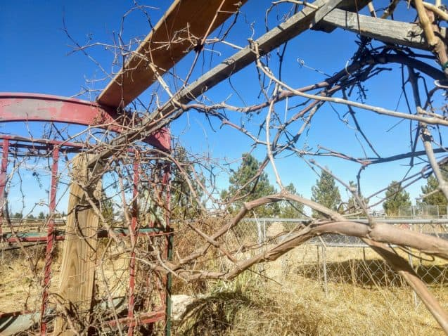 Dry and dead grape vine extending through a wooden stand