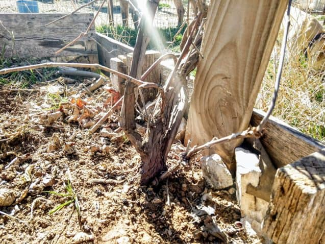 Grape vine planted in a messy backyard near a standing plank of wood
