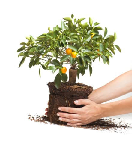 Bonsai Tree planted on a soil held by a hand