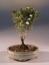 Petit indoor flowering bonsai tree with white flowers.