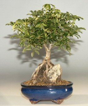 The Hawaiian Umbrella Bonsai grows from roots over rocks.