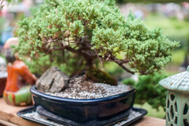 miniature bonsai japanese tree in a pot
