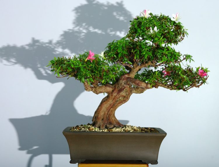 Stunning bonsai with a blooming pink flowers on a pot.