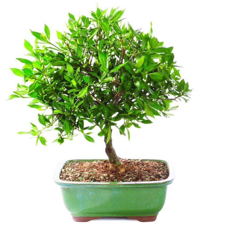Satsuki Azalea bonsai tree on a white background.
