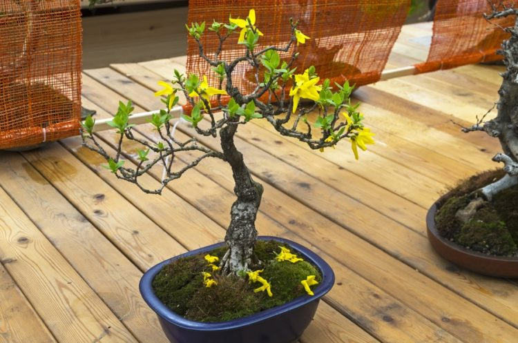 "Blooming Forsythia - Bonsai in the style of ""Straight and free"". Exhibition of Bonsai in Aptekarsky Ogorod (a branch of the Botanical Garden of Moscow State University), Moscow, Russia"