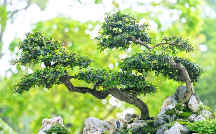 Bonsai tree trunk carrying it's foliage as planted on a rock.