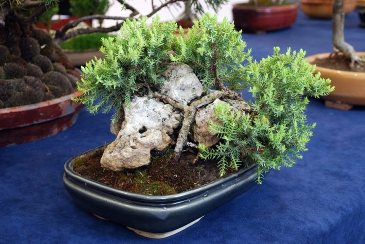 Bonsai with trunk who curved against the shape of the rocks.
