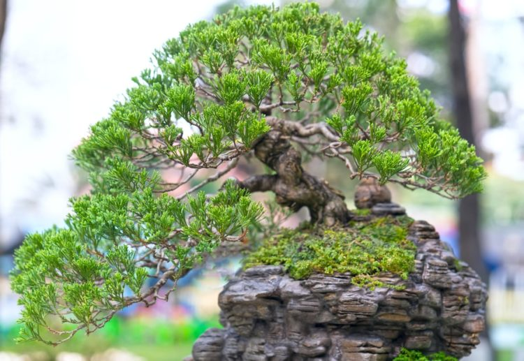 Beautiful green leaves bonsai on rocks.