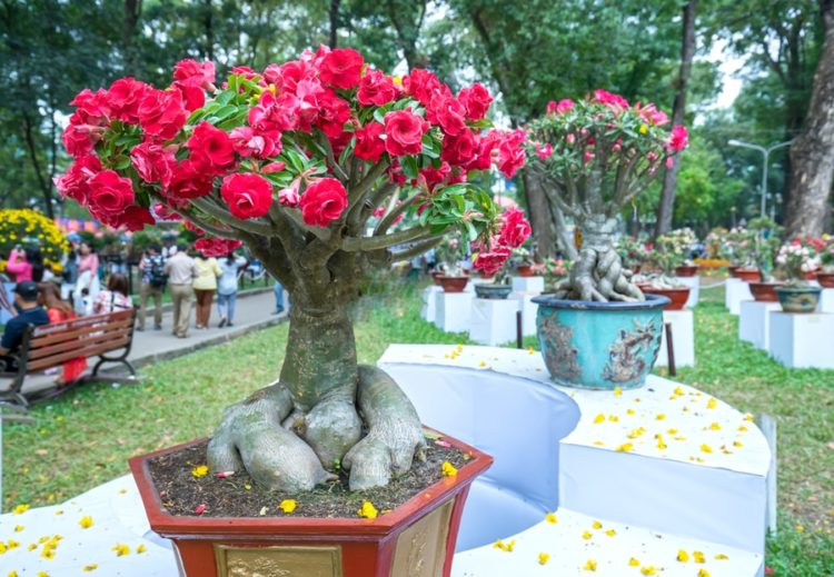 Frangipani bonsai tree is reminiscent of Valentine's Day.