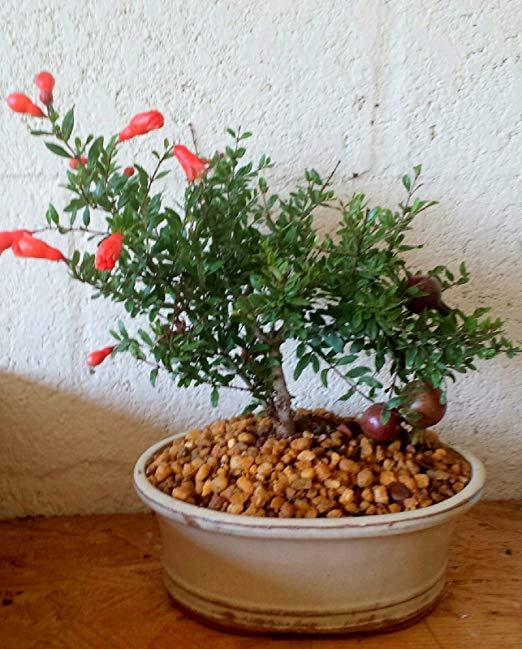 Beautiful Pomegranate bonsai with orange flowers.
