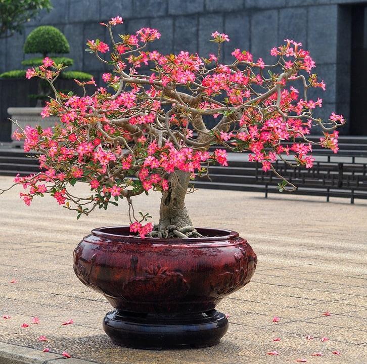 Beautiful pink flowers bonsai planted on the beautiful pot.