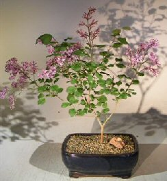 Dwarf Korean Lilac bonsai tree is the perfect example that less really is more.