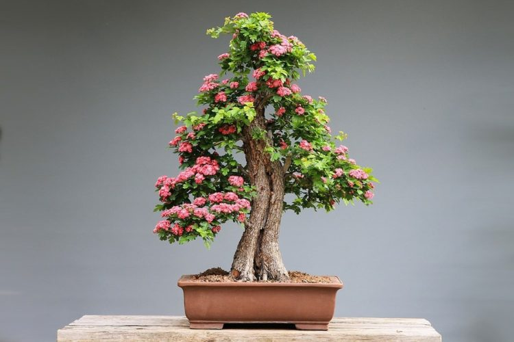Perfect curved trunk bonsai flower on top of a wooden table.