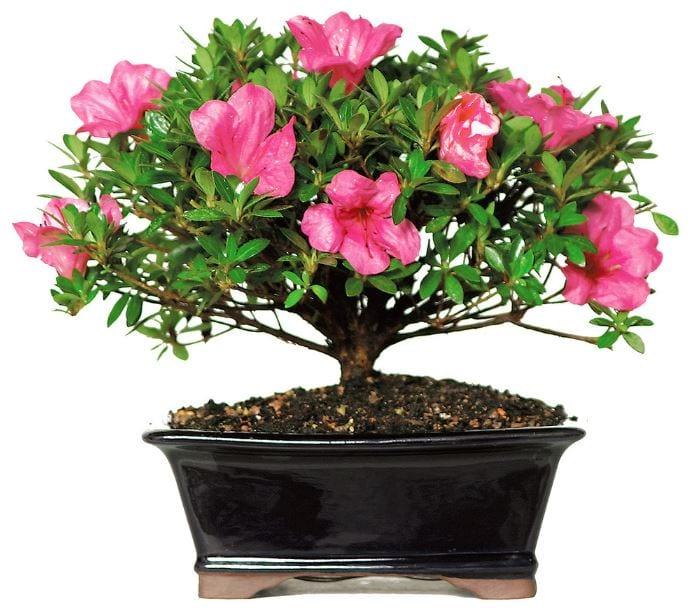 Flower bonsai on a black pot.