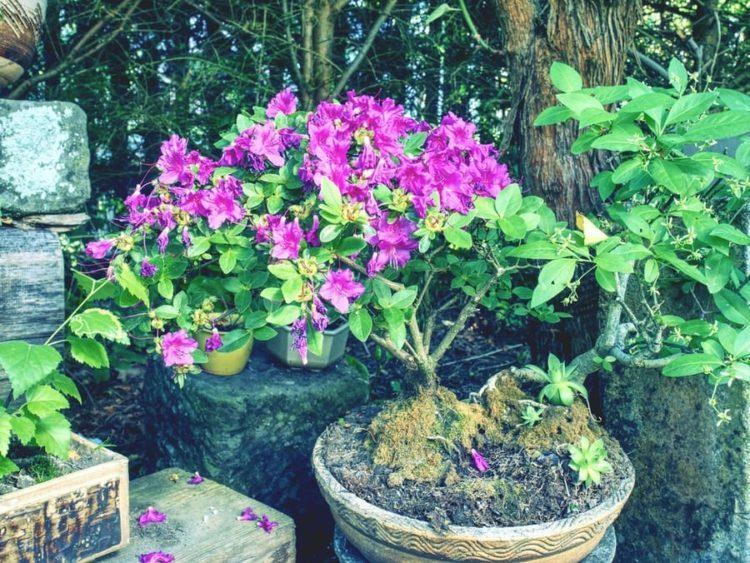 Pink azalea (Rhododendron) bonsai plant in the garden. Pink flowering azalea bonsai tree in a pot in botanical garden