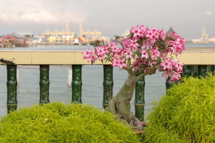 A pink bougainvillea bonsai in garden, Penang Island, Malaysia