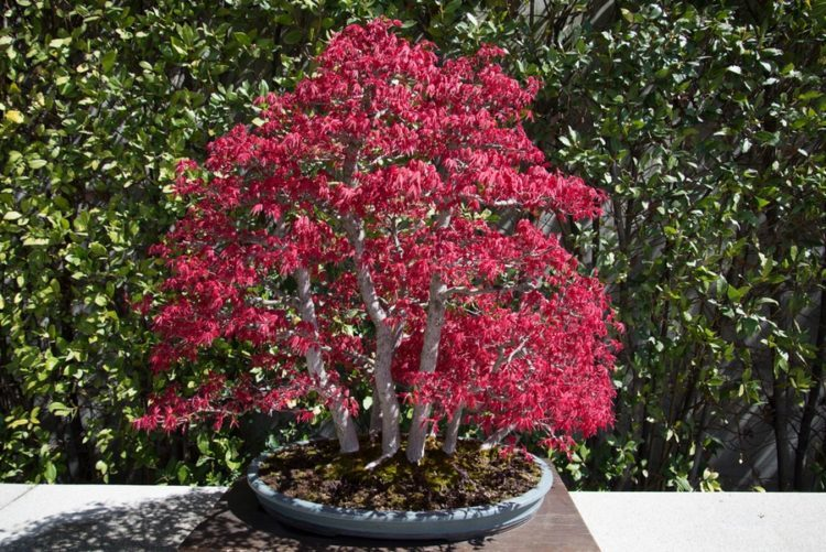 Bonsai show off multiple branch of colorful blooms.