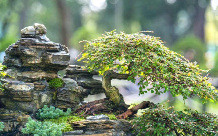 Bonsai tree with a thin trunk planted on a beautiful rock formation.