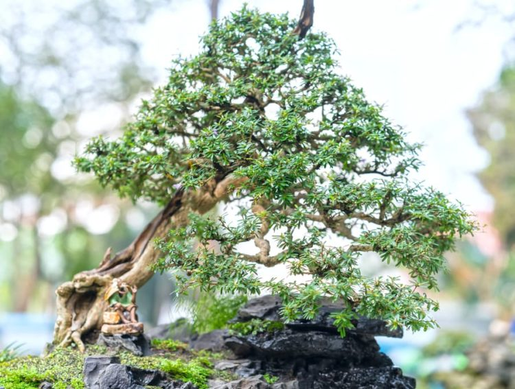 Bonsai tree grow on a barren rock.
