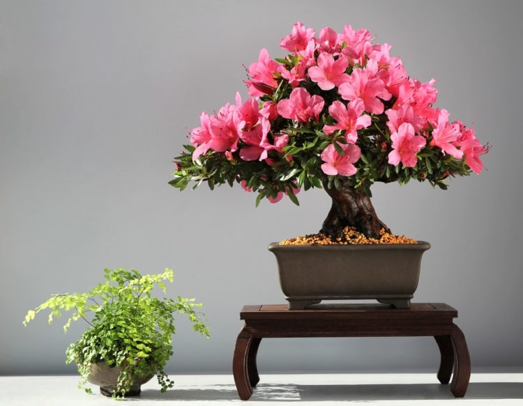 The symmetrical and perfectly shape of Azalea bonsai make it worthy of every cozy home.