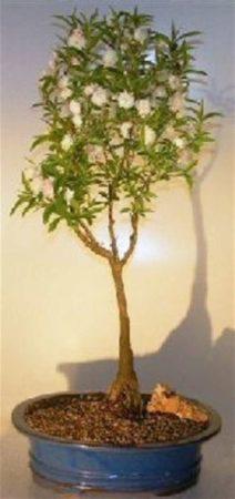 Pink Almond bonsai tree on a pot.