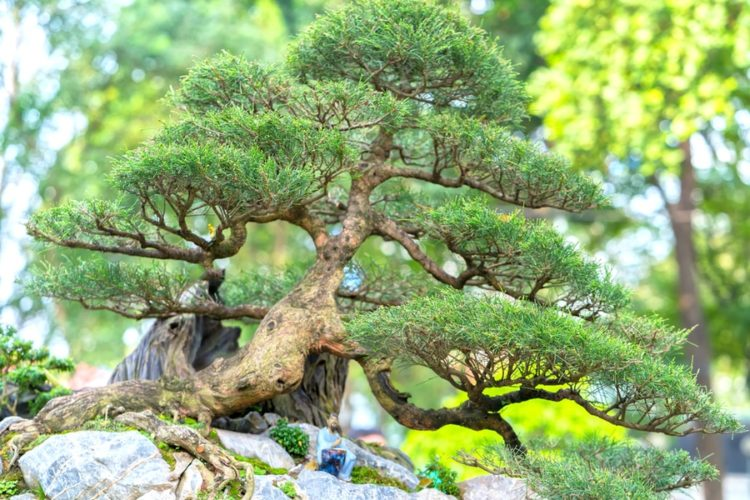 Bonsai tree with tiny green needle-shaped leaves inclinedly grow on top of the rocks.