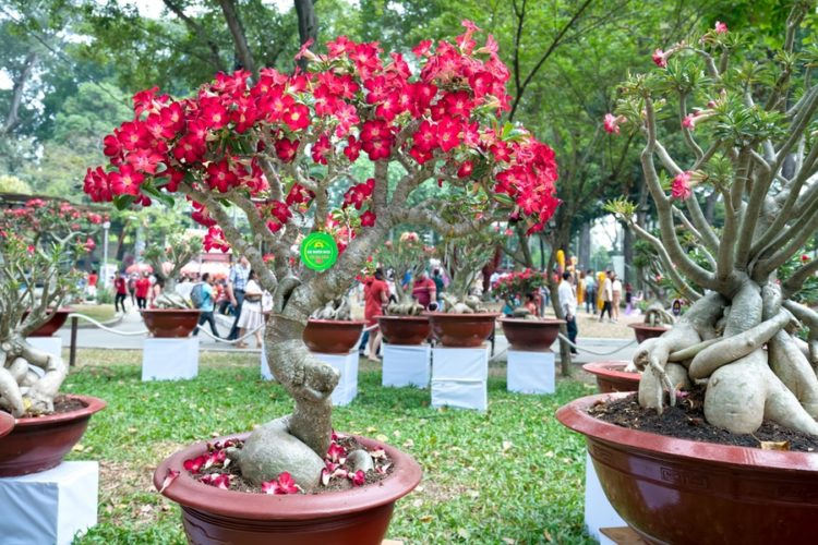 Frangipani bonsai tree with stunning red flowers.