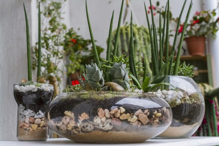 Terrariums made with succulent plants and glass pots